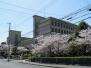 2011年星陵高校の桜