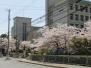 2013年星陵高等学校の桜