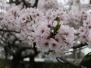 2017年星陵高校の桜